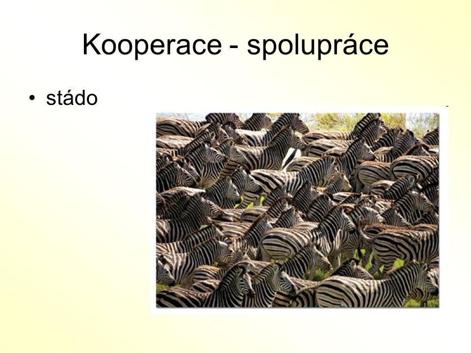 Kooperace - spolupráce stádo
