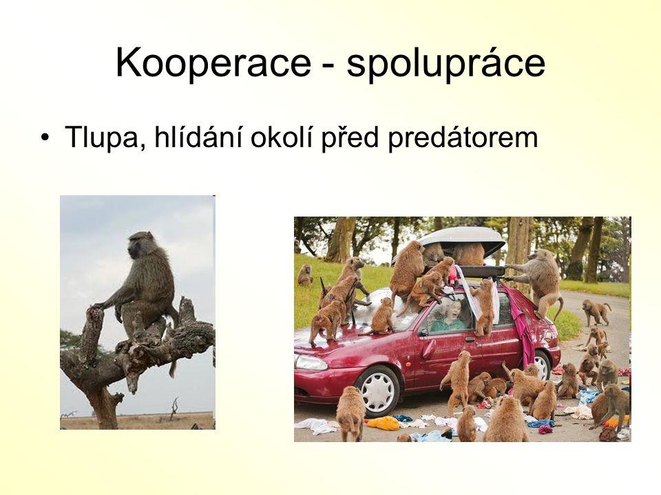 Kooperace - spolupráce Tlupa, hlídání okolí před predátorem