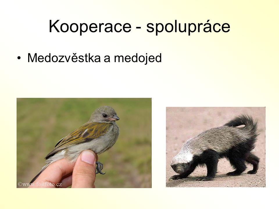 Kooperace - spolupráce Medozvěstka a medojed