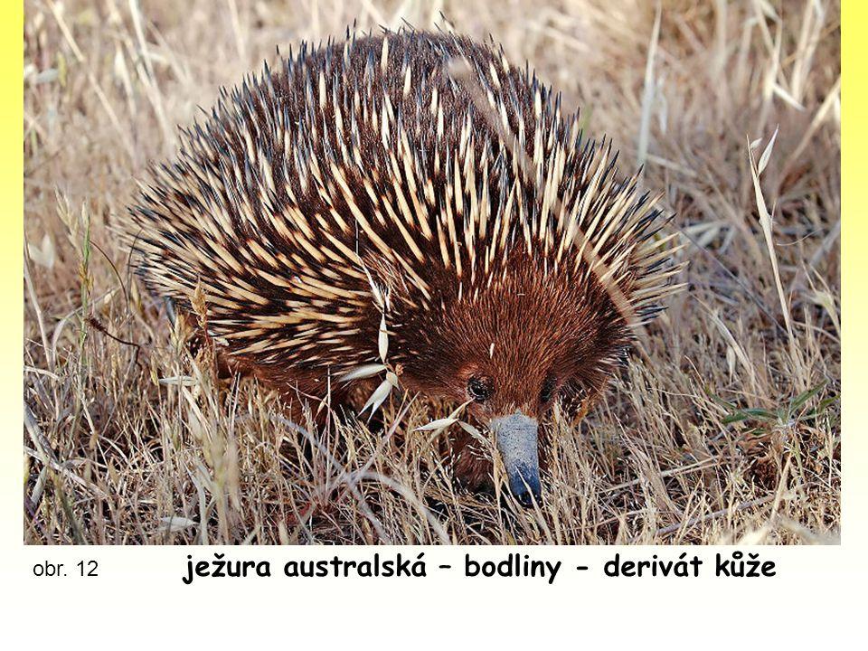 obr. 12 ježura australská – bodliny - derivát kůže