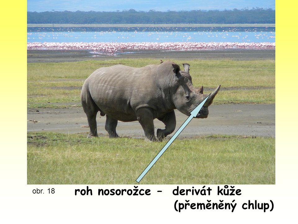 obr. 18 roh nosorožce – derivát kůže (přeměněný chlup)