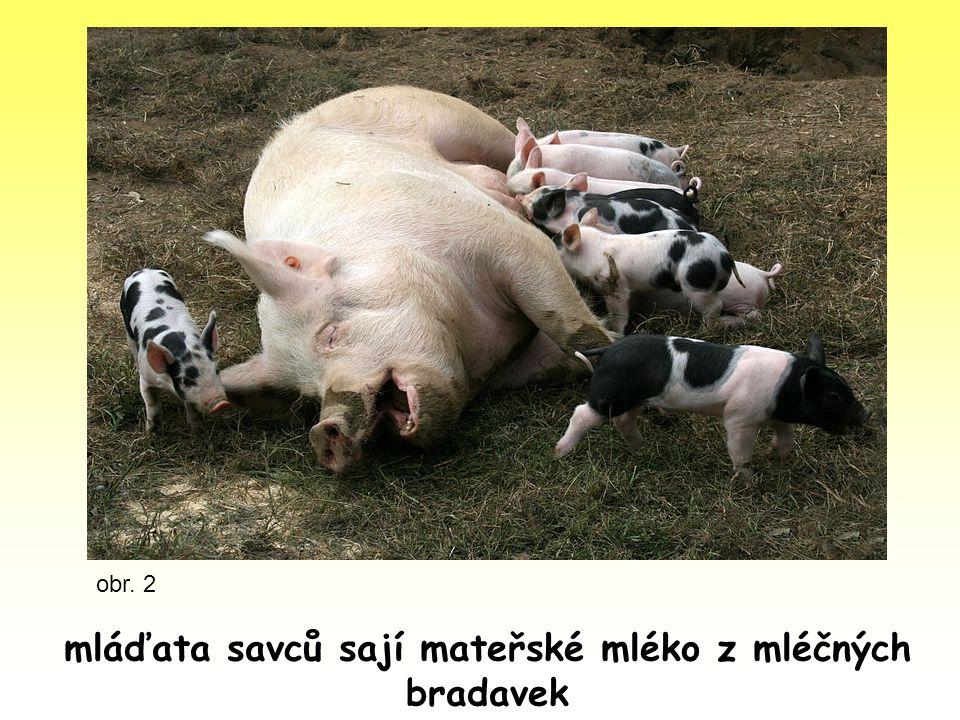 mláďata savců sají mateřské mléko z mléčných bradavek obr. 2