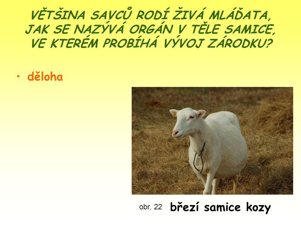 VĚTŠINA SAVCŮ RODÍ ŽIVÁ MLÁĎATA, JAK SE NAZÝVÁ ORGÁN V TĚLE SAMICE, VE KTERÉM PROBÍHÁ VÝVOJ ZÁRODKU? děloha obr. 22 březí samice kozy