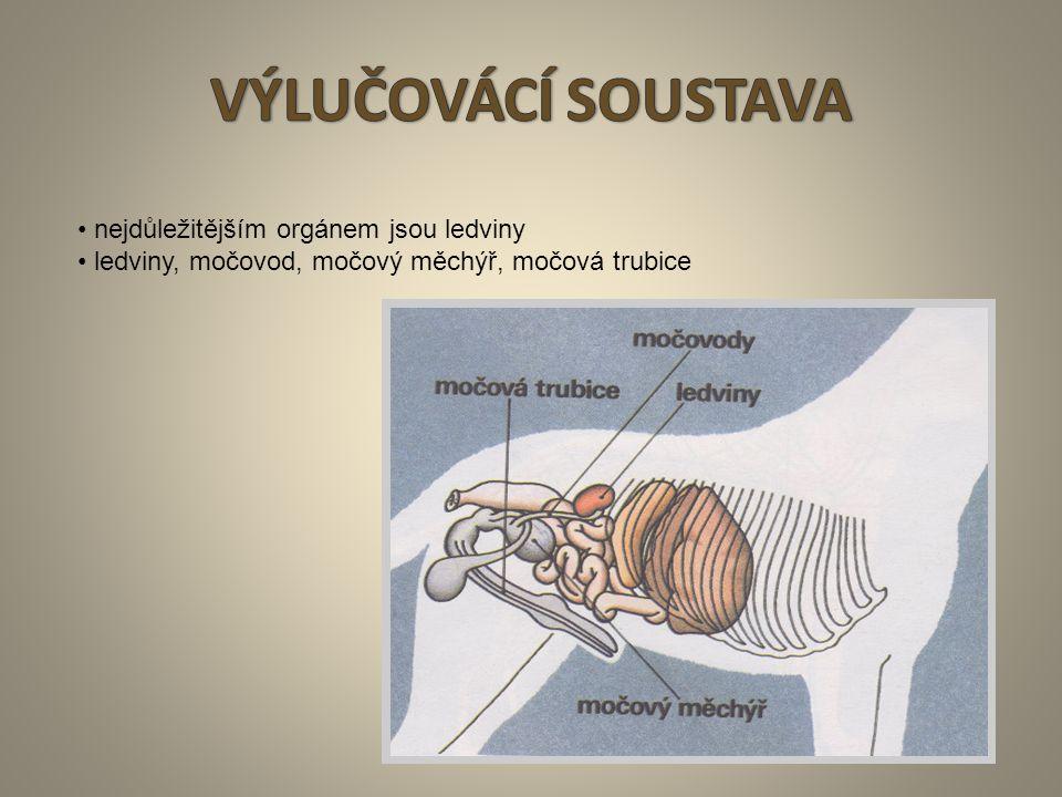 15 nejdůležitějším orgánem jsou ledviny ledviny, močovod, močový měchýř, močová trubice