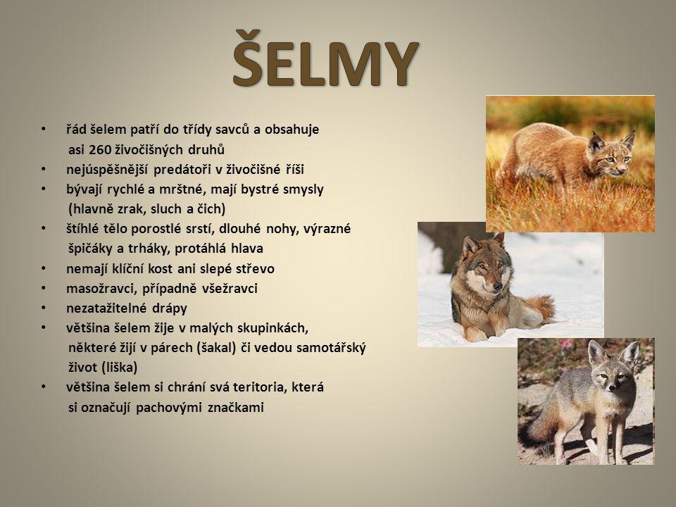 řád šelem patří do třídy savců a obsahuje asi 260 živočišných druhů nejúspěšnější predátoři v živočišné říši bývají rychlé a mrštné, mají bystré smysl