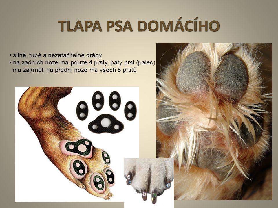5 silné, tupé a nezatažitelné drápy na zadních noze má pouze 4 prsty, pátý prst (palec) mu zakrněl, na přední noze má všech 5 prstů