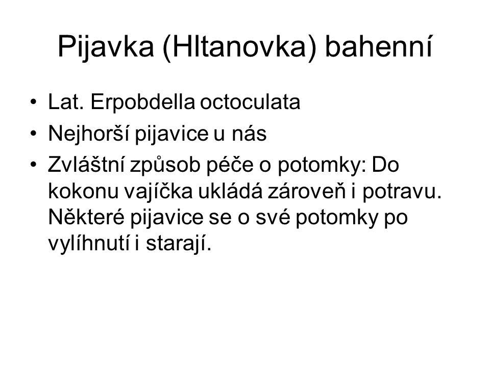Pijavka (Hltanovka) bahenní Lat.