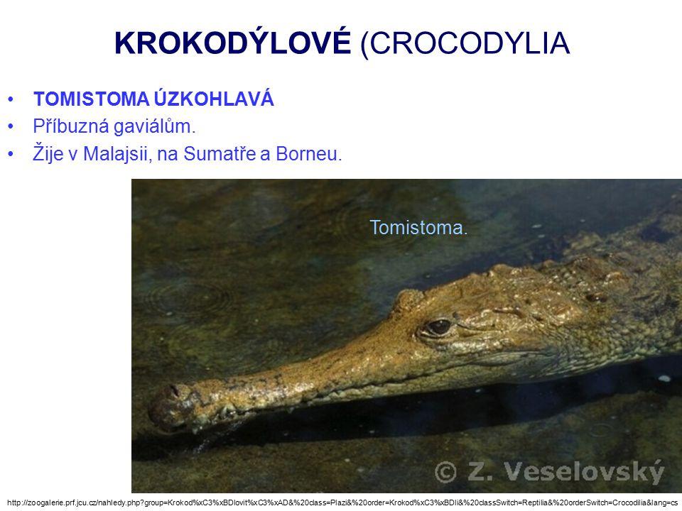 KROKODÝLOVÉ (CROCODYLIA TOMISTOMA ÚZKOHLAVÁ Příbuzná gaviálům.