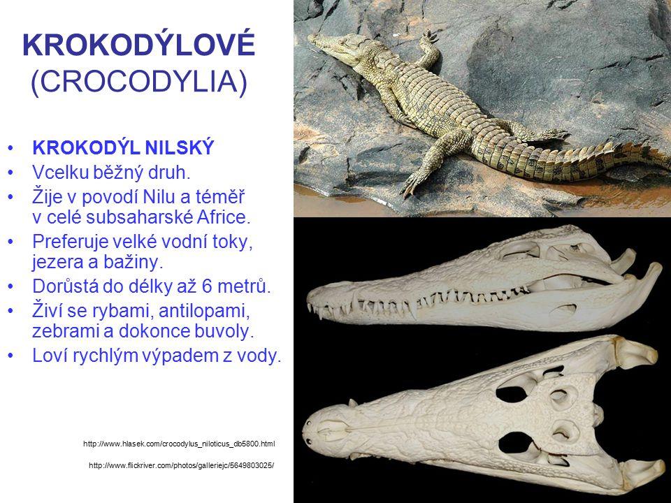 KROKODÝLOVÉ (CROCODYLIA) KROKODÝL NILSKÝ Vcelku běžný druh. Žije v povodí Nilu a téměř v celé subsaharské Africe. Preferuje velké vodní toky, jezera a