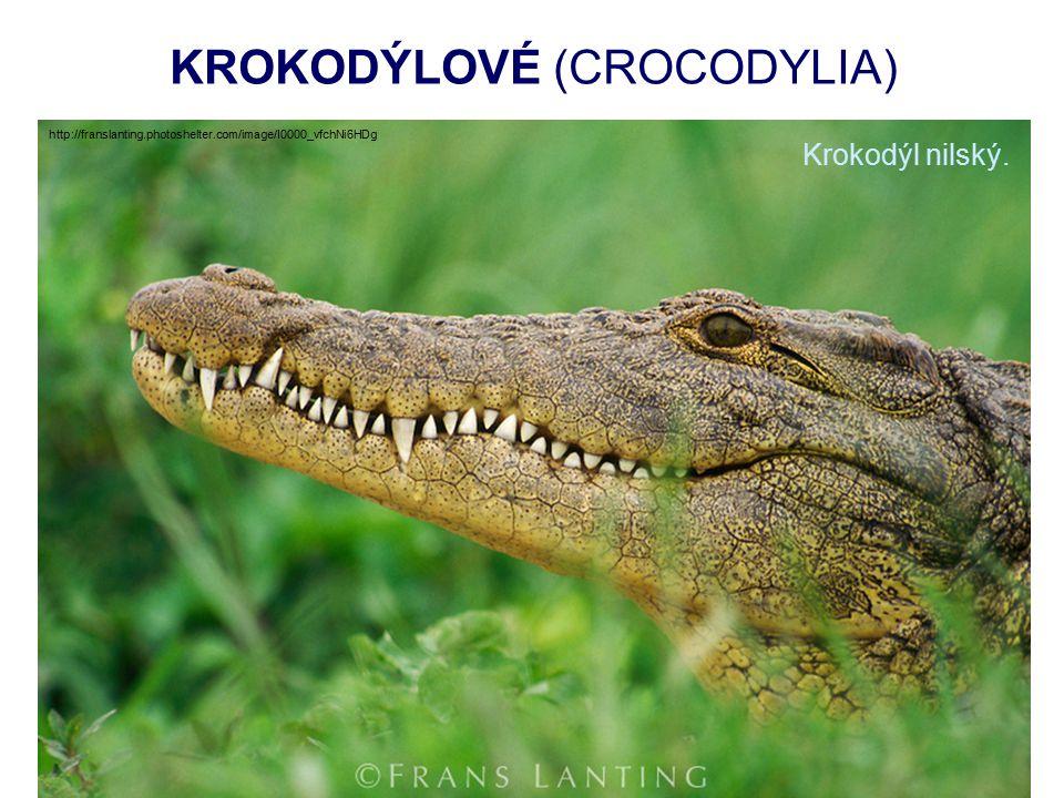 KROKODÝLOVÉ (CROCODYLIA) Krokodýl nilský.