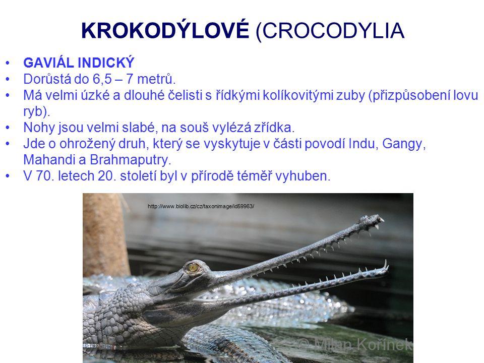 KROKODÝLOVÉ (CROCODYLIA GAVIÁL INDICKÝ Dorůstá do 6,5 – 7 metrů. Má velmi úzké a dlouhé čelisti s řídkými kolíkovitými zuby (přizpůsobení lovu ryb). N