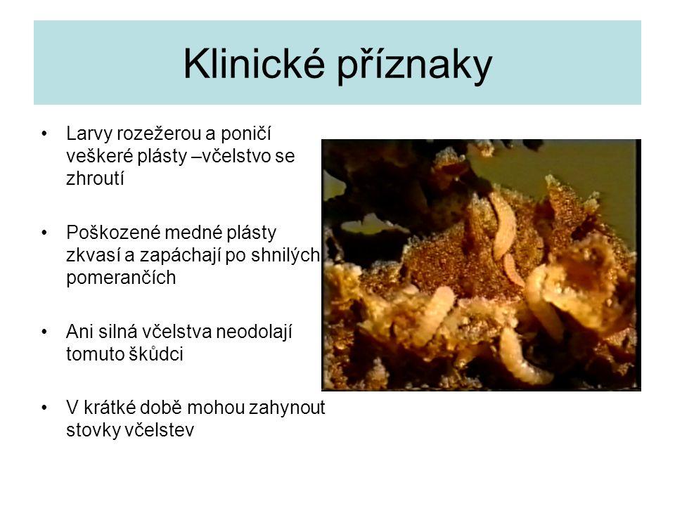 Klinické příznaky Larvy rozežerou a poničí veškeré plásty –včelstvo se zhroutí Poškozené medné plásty zkvasí a zapáchají po shnilých pomerančích Ani s