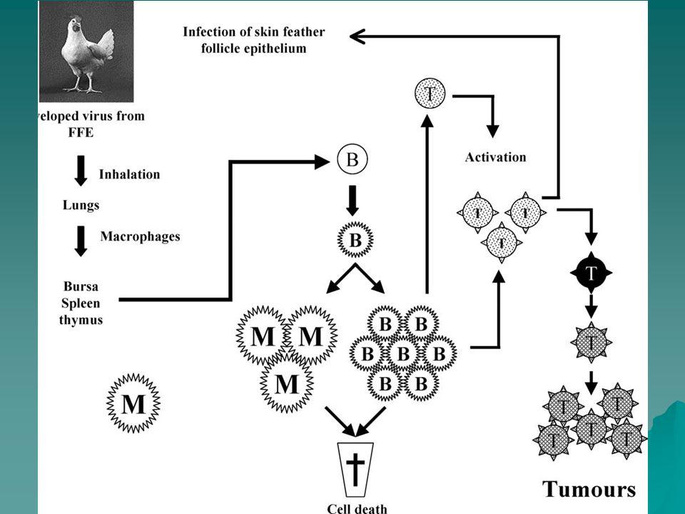 Markova choroba Diagnostika Vzhledem k značnému rozšíření není průkaz viru ani Ab rozhodující  MATSA antigeny  Izolace na BK (IFA diferenciace sérotypů)  Izolace na KE –CAM – nespecifické poky –YS