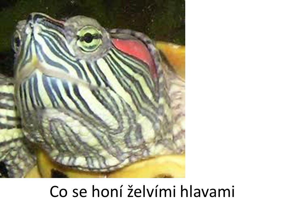 Co se honí želvími hlavami
