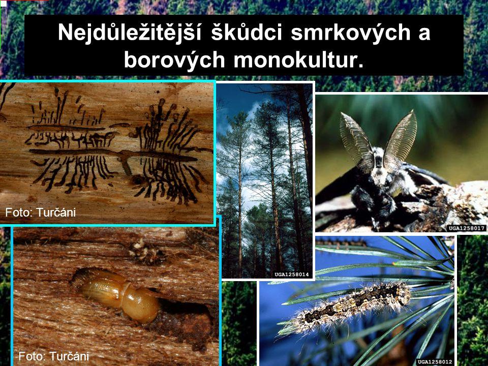 Nejdůležitější škůdci smrkových a borových monokultur. Foto: Turčáni