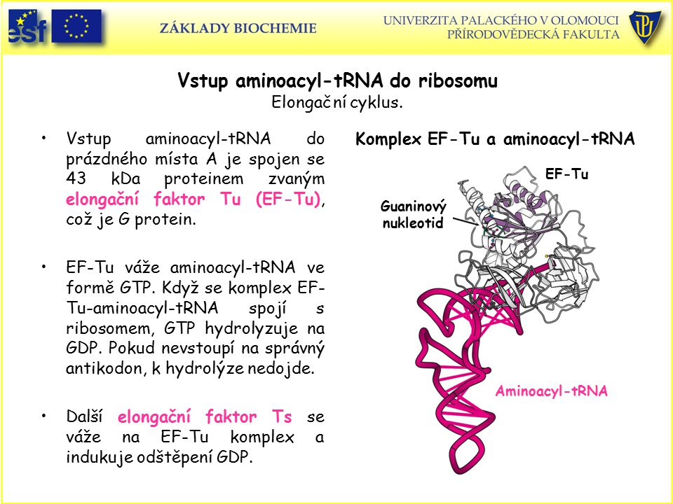 Vstup aminoacyl-tRNA do ribosomu Elongační cyklus. Vstup aminoacyl-tRNA do prázdného místa A je spojen se 43 kDa proteinem zvaným elongační faktor Tu