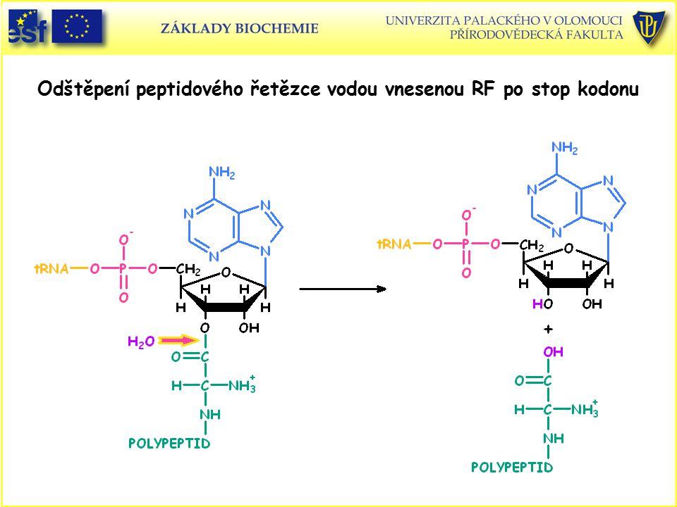 Odštěpení peptidového řetězce vodou vnesenou RF po stop kodonu