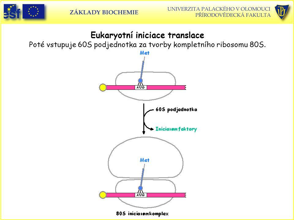 Eukaryotní iniciace translace Poté vstupuje 60S podjednotka za tvorby kompletního ribosomu 80S.