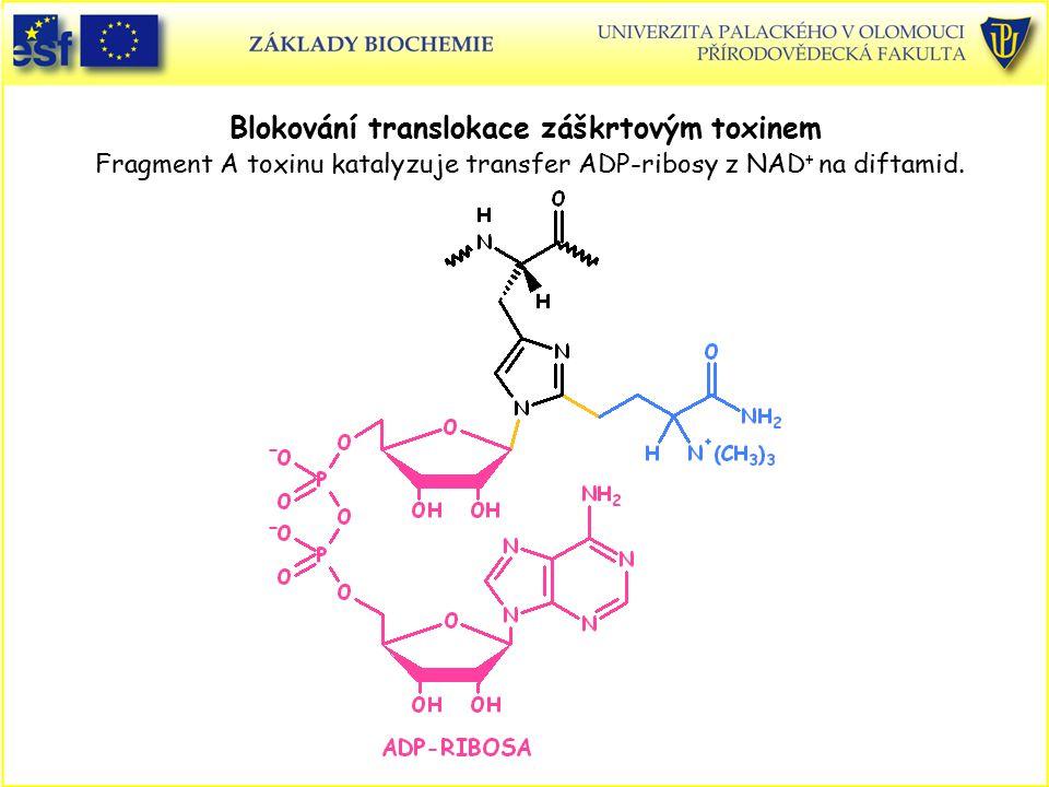 Blokování translokace záškrtovým toxinem Fragment A toxinu katalyzuje transfer ADP-ribosy z NAD + na diftamid.