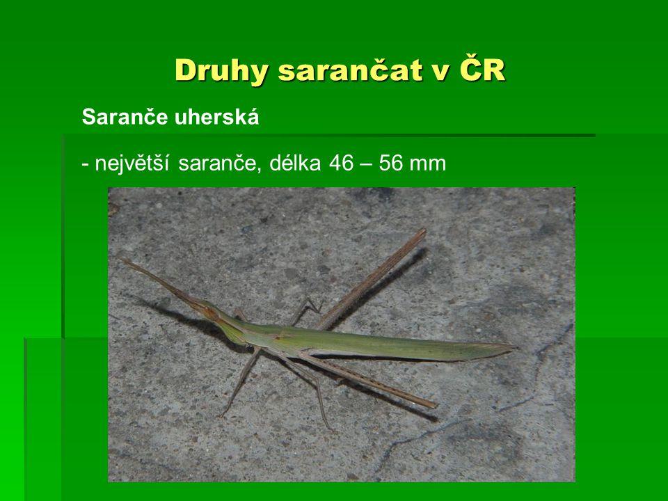 Druhy sarančat v ČR - největší saranče, délka 46 – 56 mm Saranče uherská
