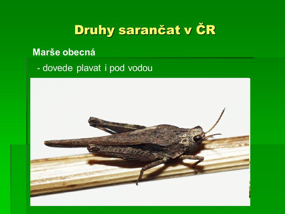 Druhy sarančat v ČR Marše obecná - dovede plavat i pod vodou