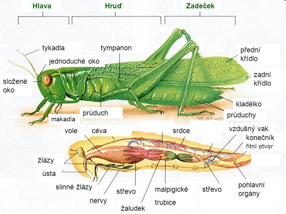 HlavaHruďZadeček jednoduché oko průduchy tykadla složené oko přední křídlo zadní křídlo průduch střevo srdce ústa slinné žlázy žaludek střevo pohlavní