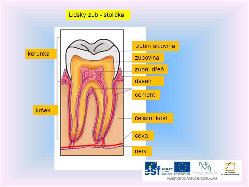 Složení zubu sklovinaNejtvrdší vrstva, která pokrývá povrch zubu a chrání jej zubovinaNažloutlá vrstva uložená pod sklovinou cementTvrdá, drsná vrstva pokrývající povrch kořene zubu cévy Zajišťují výživu zubu a odstraňují odpadové látky nervyPřenášejí do mozku signály bolesti při zubním kazu zubní lůžka Jsou v nich jsou uloženy zuby a s kostí jsou spojené drobnými závěsnými vlákny zubní dřeňObsahuje nervy a cévní zásobení zubu