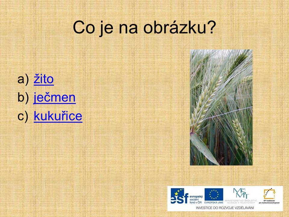 Co je na obrázku? a)žitožito b)ječmenječmen c)kukuřicekukuřice