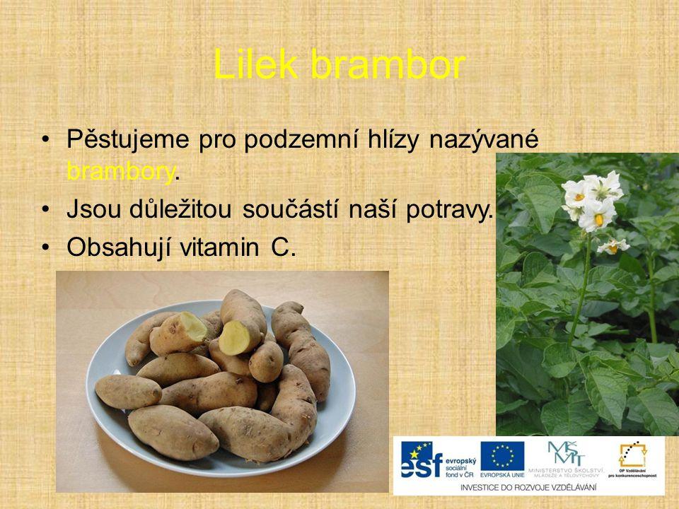 Lilek brambor Pěstujeme pro podzemní hlízy nazývané brambory. Jsou důležitou součástí naší potravy. Obsahují vitamin C.