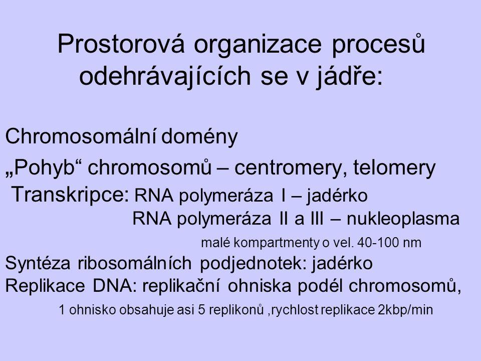 """Prostorová organizace procesů odehrávajících se v jádře: Chromosomální domény """" Pohyb"""" chromosomů – centromery, telomery Transkripce: RNA polymeráza I"""