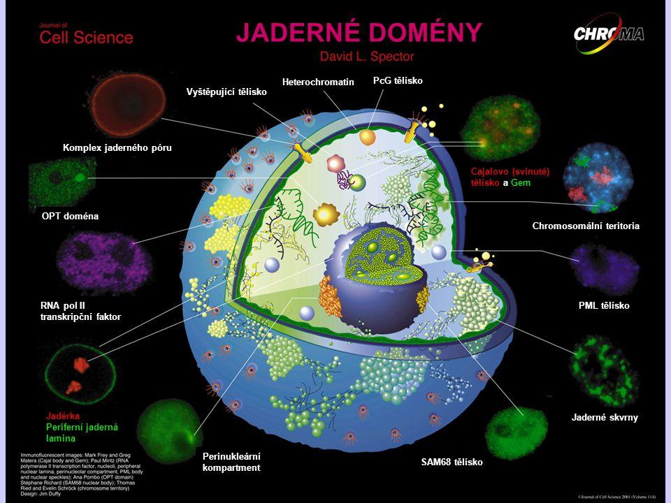 Vyštěpující tělísko Heterochromatin PcG tělísko Cajalovo (svinuté) tělísko a Gem Chromosomální teritoria PML tělísko Jaderné skvrny SAM68 tělísko Peri