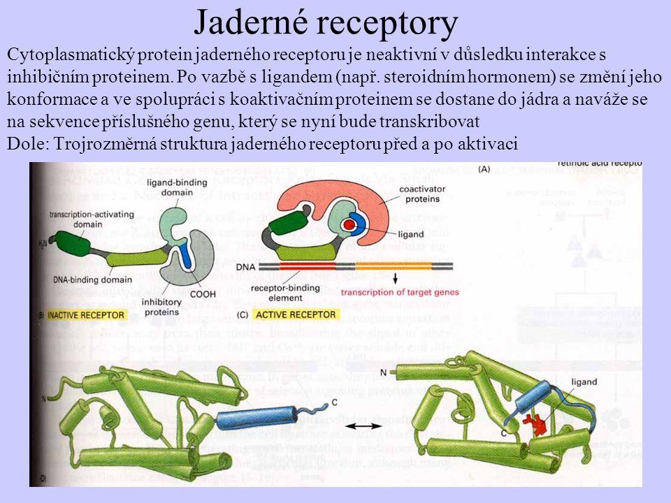 Jaderné receptory Cytoplasmatický protein jaderného receptoru je neaktivní v důsledku interakce s inhibičním proteinem. Po vazbě s ligandem (např. ste