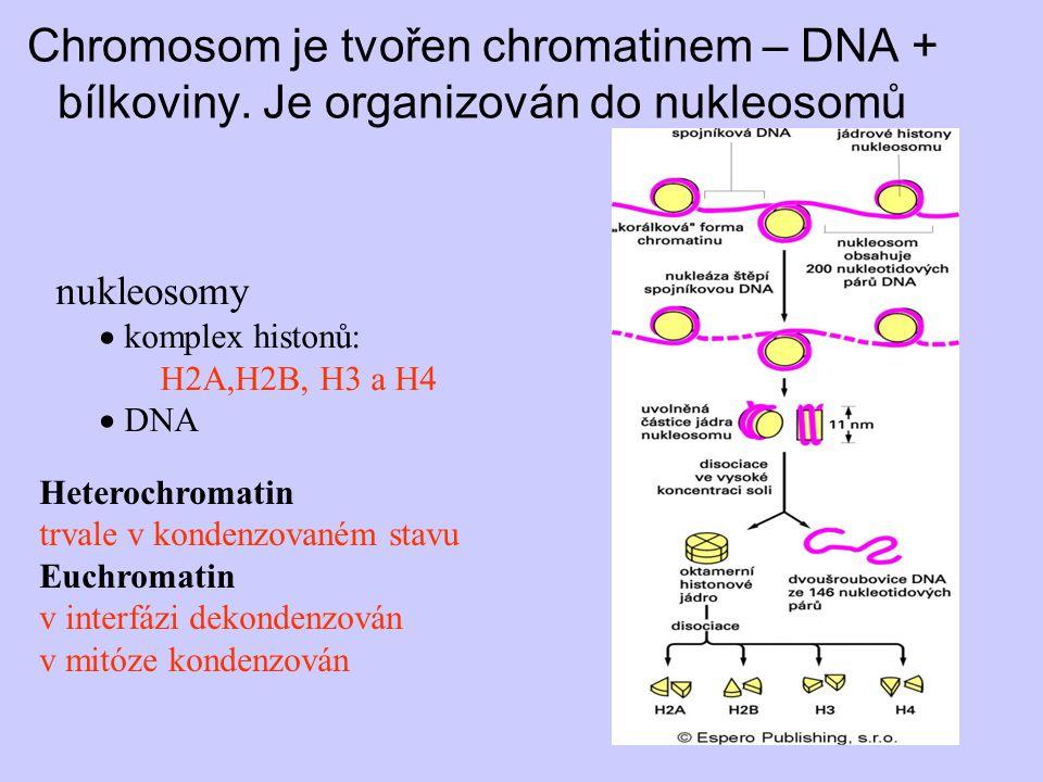 Chromosom je tvořen chromatinem – DNA + bílkoviny. Je organizován do nukleosomů nukleosomy  komplex histonů: H2A,H2B, H3 a H4  DNA Heterochromatin t