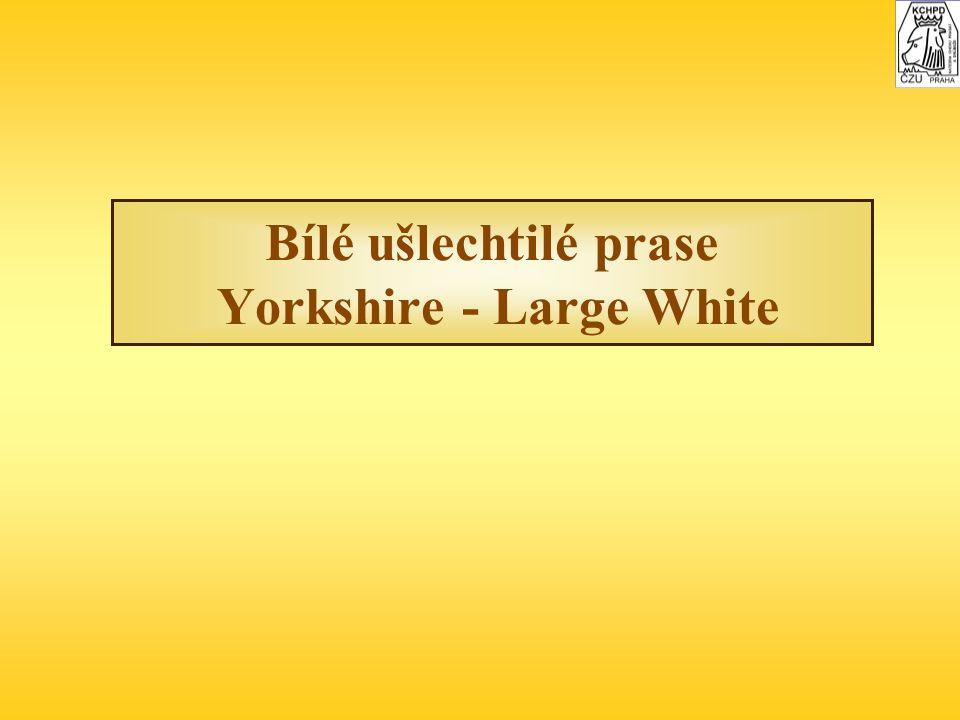 Bílé ušlechtilé prase Yorkshire - Large White