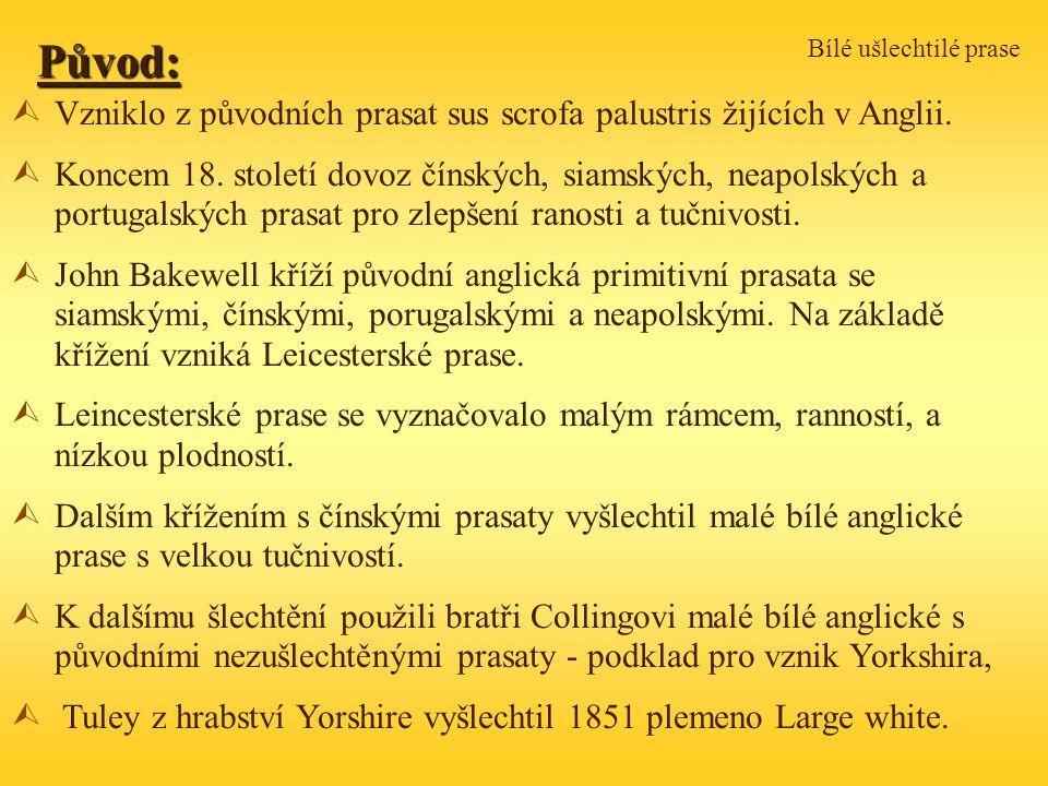 Bílé ušlechtilé prasePůvod: ÙVzniklo z původních prasat sus scrofa palustris žijících v Anglii.
