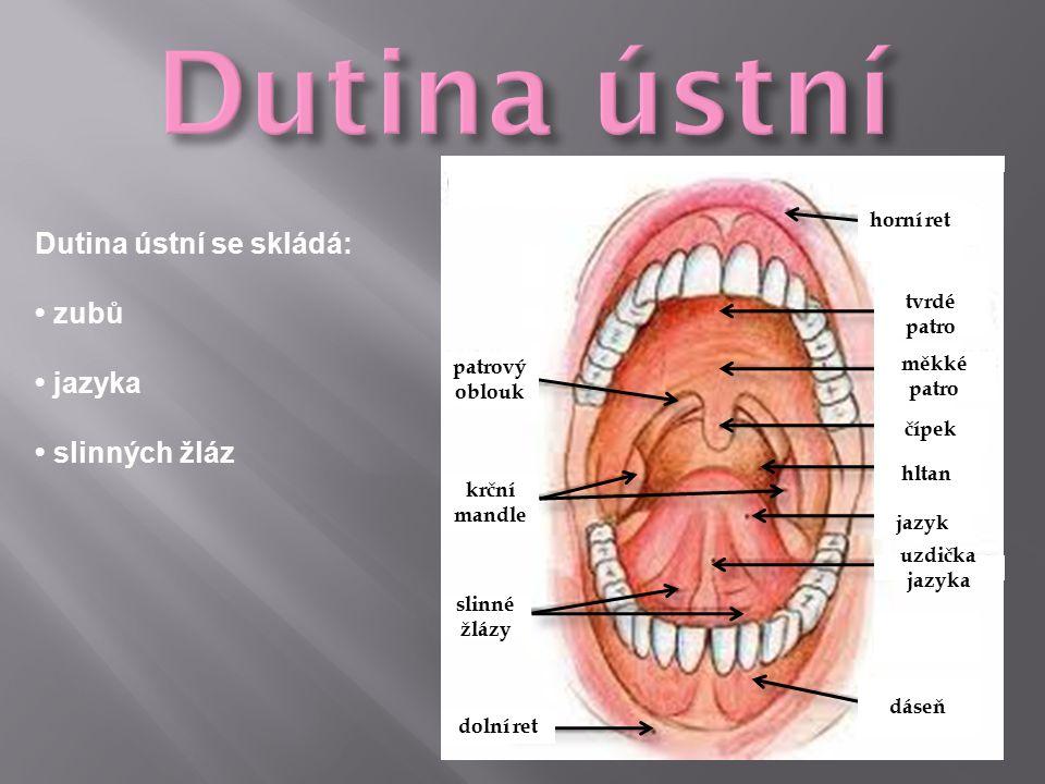 horní ret tvrdé patro měkké patro čípek hltan jazyk uzdička jazyka dáseň dolní ret slinné žlázy krční mandle patrový oblouk Dutina ústní se skládá: zubů jazyka slinných žláz