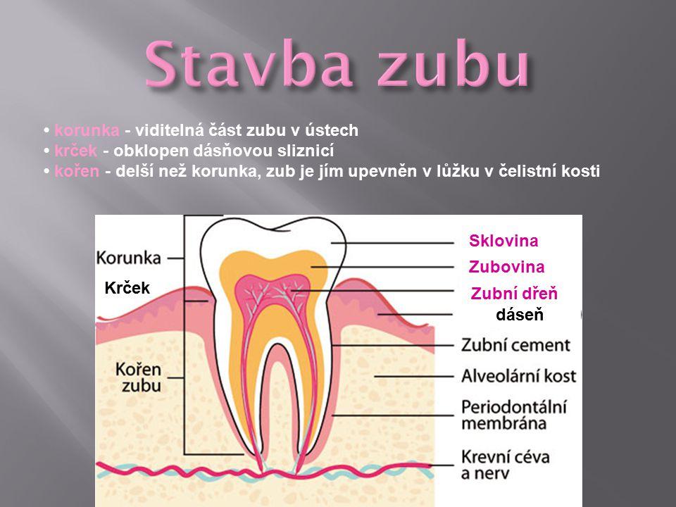 korunka - viditelná část zubu v ústech krček - obklopen dásňovou sliznicí kořen - delší než korunka, zub je jím upevněn v lůžku v čelistní kosti Sklovina Krček Zubovina Zubní dřeň dáseň