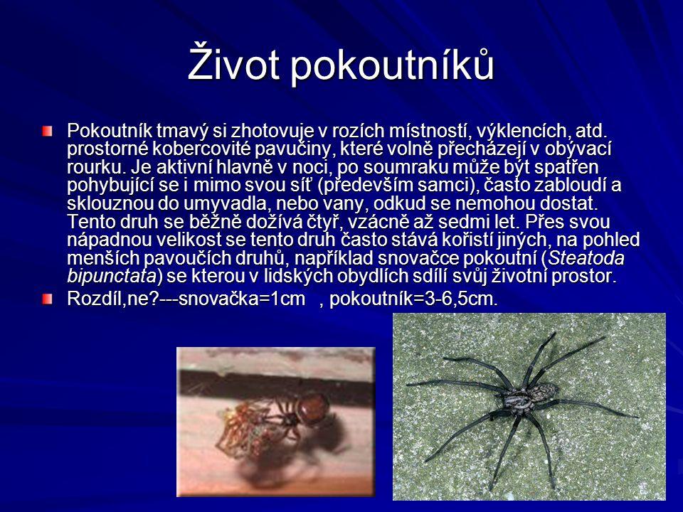 Život pokoutníků Pokoutník tmavý si zhotovuje v rozích místností, výklencích, atd. prostorné kobercovité pavučiny, které volně přecházejí v obývací ro