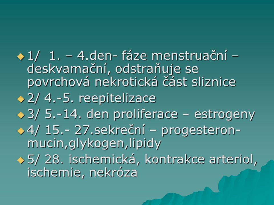  1/ 1. – 4.den- fáze menstruační – deskvamační, odstraňuje se povrchová nekrotická část sliznice  2/ 4.-5. reepitelizace  3/ 5.-14. den proliferace