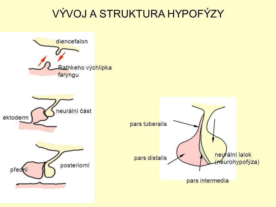 posteriorní přední pars distalis neurální lalok (neurohypofýza) pars intermedia VÝVOJ A STRUKTURA HYPOFÝZY diencefalon Rathkeho výchlipka faryngu neur