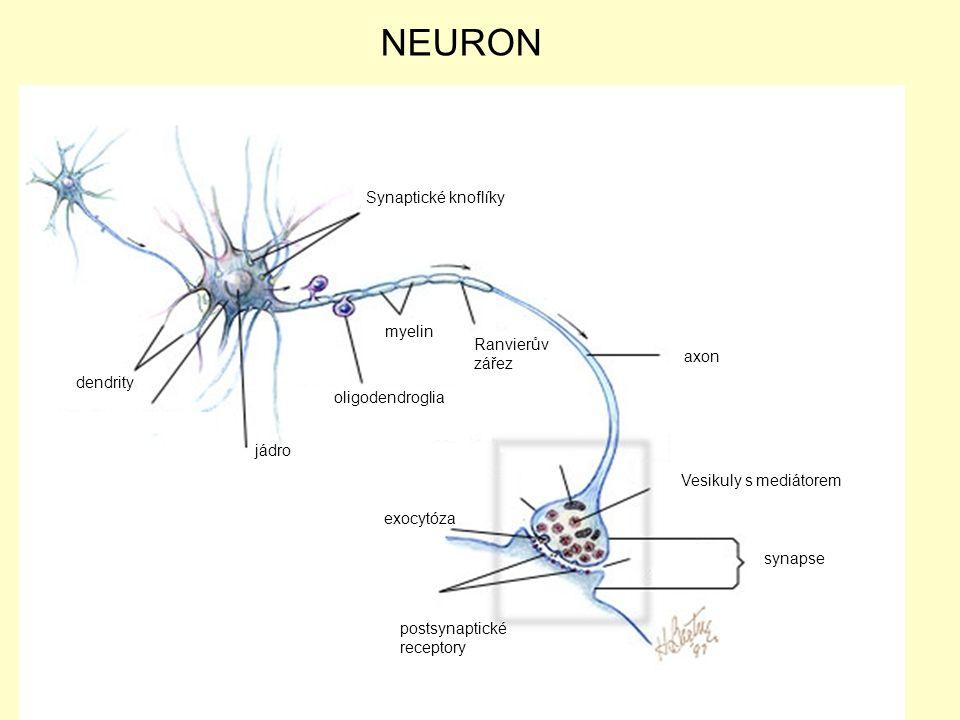 mitochondriw axon Vesikuly s mediátorem jádro dendrity Synaptické knoflíky postsynaptické receptory exocytóza synapse oligodendroglia myelin Ranvierův