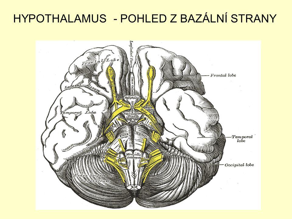 HYPOTHALAMUS - POHLED Z BAZÁLNÍ STRANY