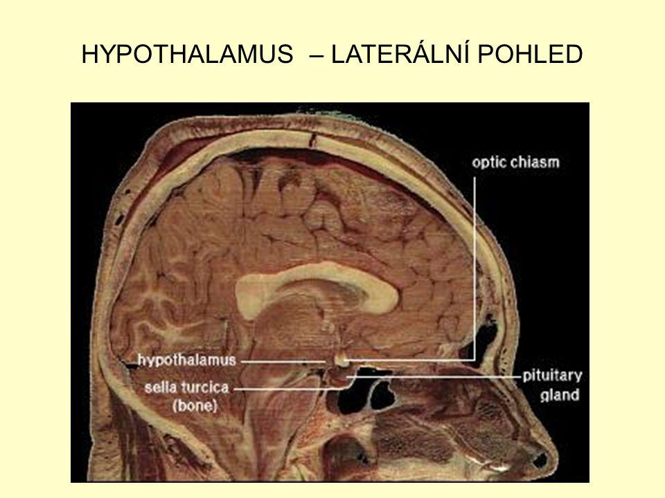 HYPOTHALAMUS – LATERÁLNÍ POHLED