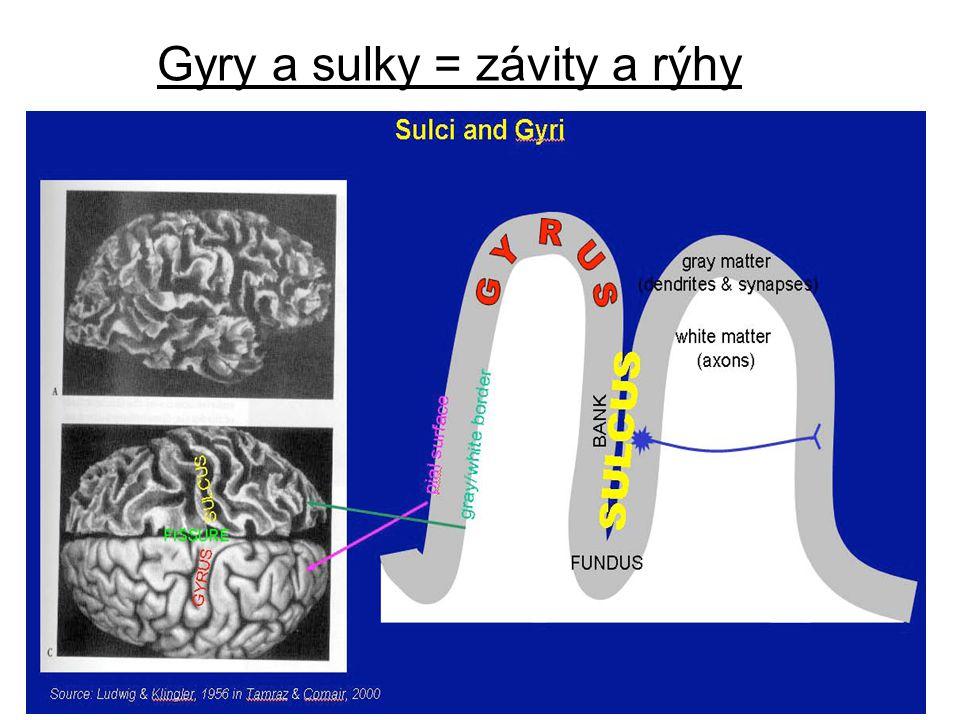"""Zvrásněnost šedé kůry (kortexu) je důsledkem """"snahy vejít se do prostoru lebky."""