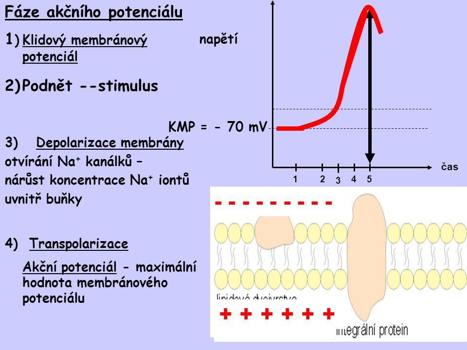 5)Repolarizace membrány napěťově řízené Na + kanály uzavřeny napěťově řízené K + kanály otevřeny, K + vytéká ven z buňky, membránový potenciál klesá čas napětí 12345 6)Hyperpolarizace membrány - napěťově řízené K + kanály otevřeny i poté, co membránový potenciál dosáhne hodnoty KMP, pokračující vytékání K + způsobí pokles membránového potenciálu pod hodnotu KMP 7)Návrat ke KMP – K + kanály uzavřeny Sodno-draslíková pumpa 5) Repolarizace - K + napěťově řízené kanály otevřeny, Na + kanály uzavřeny 6) Hyperpolarizace - K + kanály stále otevřeny, Na + kanály uzavřeny