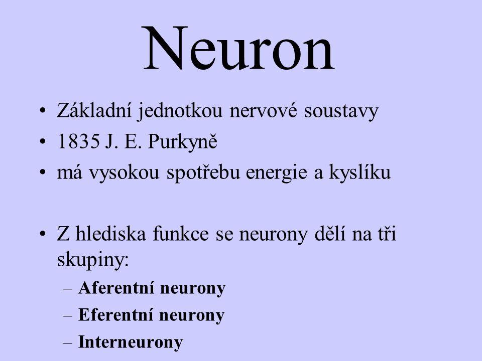 Neuron - stavba : Tělo Dendrity Iniciální segment Nervové vlákno (neurit) Axon (myelinová pochva s Ranvierovými zářezy) Nervová zakončení - synapse = spojení jednotlivých neuronů - šedá hmota nervová = nahlučení těl neuronů - bílá hmota nervová = svazky výběžků neuronů