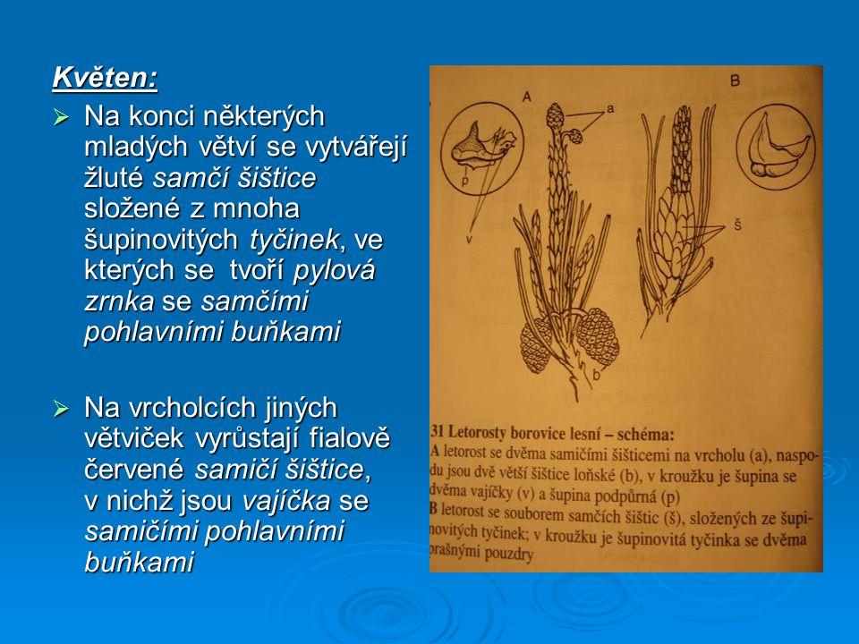  Opylení = děj, při němž jsou pylová zrnka větrem přenášena na povrch vajíček; pylové zrno klíčí, a tím se dostává samčí pohlavní buňka do vajíčka; tento proces trvá u borovice celý rok  Oplození = splynutí samčí pohlavní buňky s pohlavní buňkou samičí
