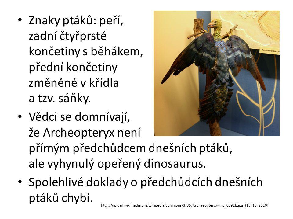 Znaky ptáků: peří, zadní čtyřprsté končetiny s běhákem, přední končetiny změněné v křídla a tzv. sáňky. Vědci se domnívají, že Archeopteryx není přímý