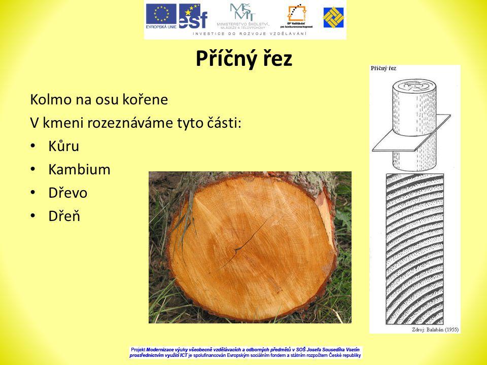 Příčný řez Kolmo na osu kořene V kmeni rozeznáváme tyto části: Kůru Kambium Dřevo Dřeň