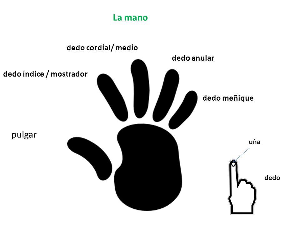 La mano pulgar dedo índice / mostrador dedo cordial/ medio dedo anular dedo meñique dedo uña